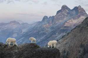Kurz nach Sonnenaufgang wandert das dominante Schneeziegenpaar mit seinem Jungen am Rande einer steilen Klippe. © GDT ENJ 2015, Fritz Pölking Jugendpreis, Connor Stefanison
