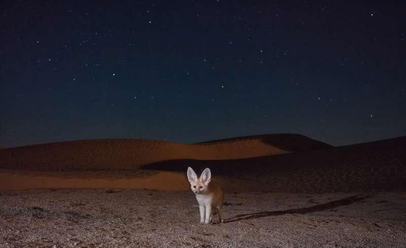 In einer sternenklaren Nacht macht ein ausgewachsener Fennek ein Selbstportrait, indem er durch den Infrarot-Strahl einer Kamerafalle läuft, die an einem Pfad zwischen den Dünen aufgebaut wurde. Diese Füchse sind überwiegend nachtaktiv und können weite Strecken zurücklegen, um ihre Beute in der dunklen Stille der Sahara zu jagen. © GDT ENJ 2015, Fritz Pölking Preis, Bruno D'Amicis