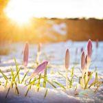 Krokusse im Schnee unter abendlichem Frhlingslicht