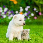White Swiss Shepherd`s puppy and kitten sitting on green grass in front view.